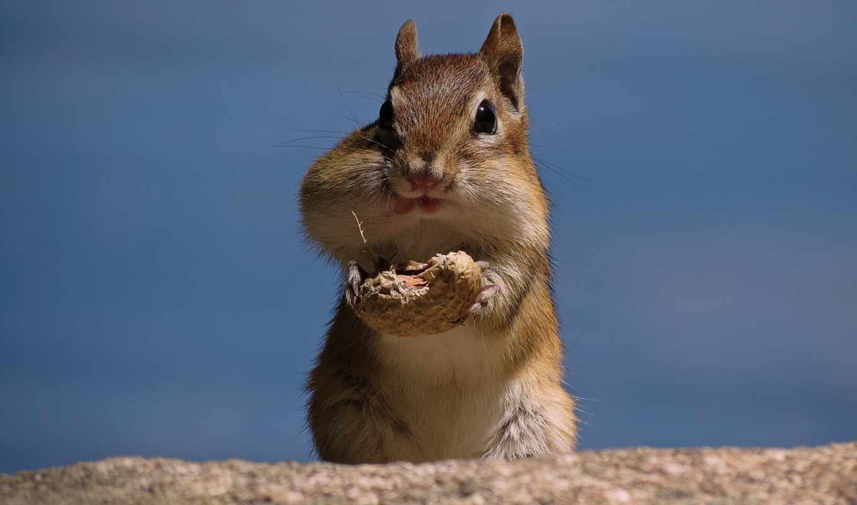 funny, бурундук, ultra, animals, арахис, cute, yellow,