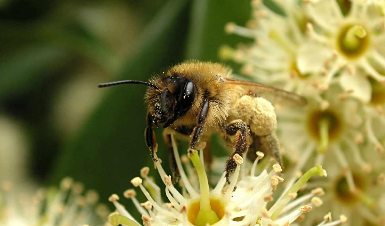 пчелка, пчелы, макро, мною, цветы, надо, листва, вьются, кружат,