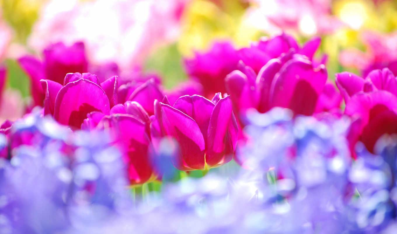 тюльпанов, тюльпаны, море, цветы, безбрежное, марта, tulips, воспевал, поэмах, своих, flowers, красоту, неоднократно,