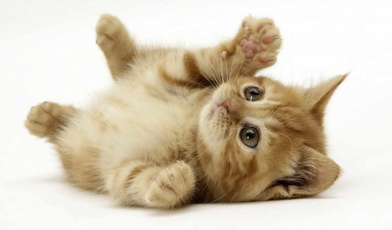 котенок, kittens, feline, een, virus, op, het, vaccination, voor,