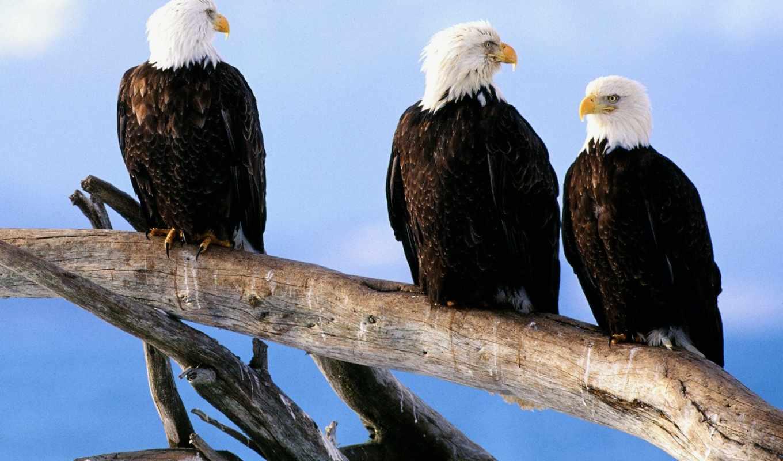 лысый, eagles, орлан, free, you,
