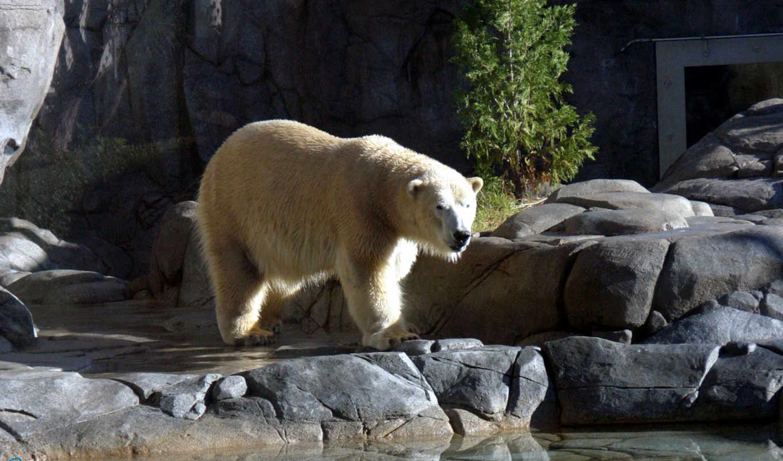 медведь, iphone, white, ipad, zhivotnye, touch, мини, polar, ipod, презентация,