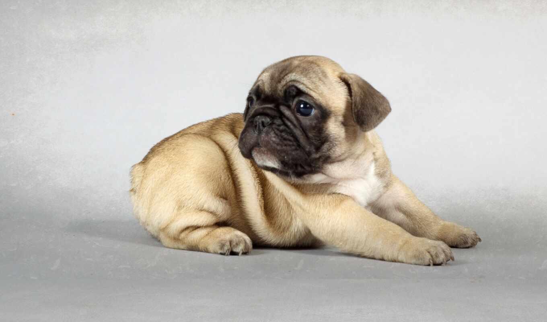 мопс, cute, little, собака, красивый, boy, nickname