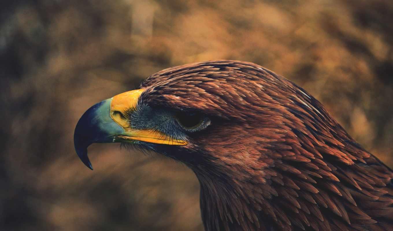 картинка, птица, орлан, перья, full, взгляд,