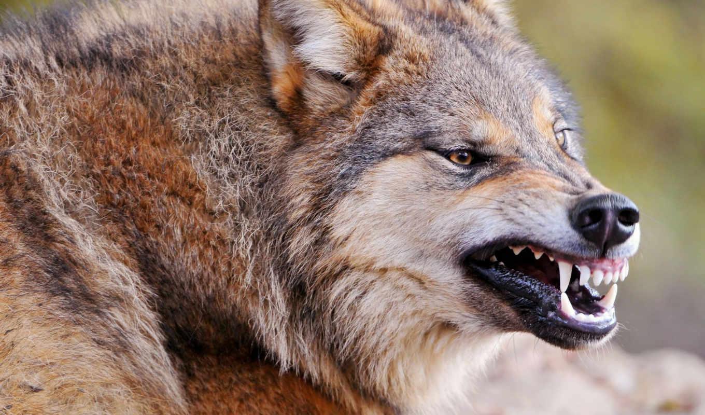 волк, хищник, оскал, клыки, санитар, zhivotnye, zver, злость, разделе, чёрный, волками,