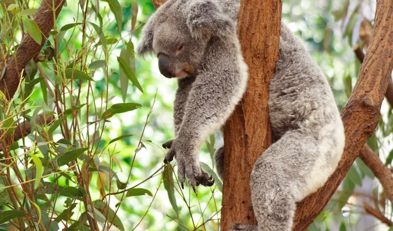 австралия, пикабу, коала, коалы, обнимашки, лига, эвкалипт, лени,