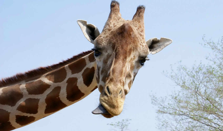 жираф, животные, язык,