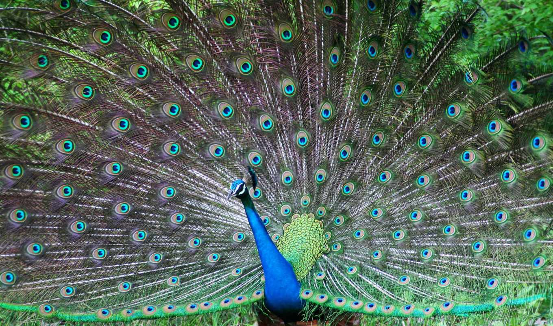 peacock, красивый, птица, browse, плакат, tail, перья, самца, красивые, продам,