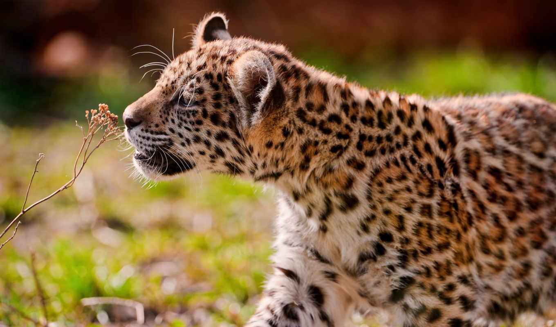 jaguar, кот, blue,
