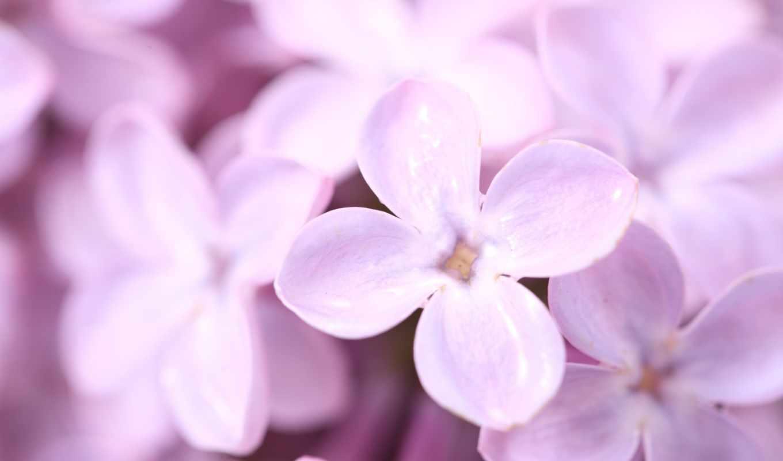 сиреневый, весна, цветы, лепестки,