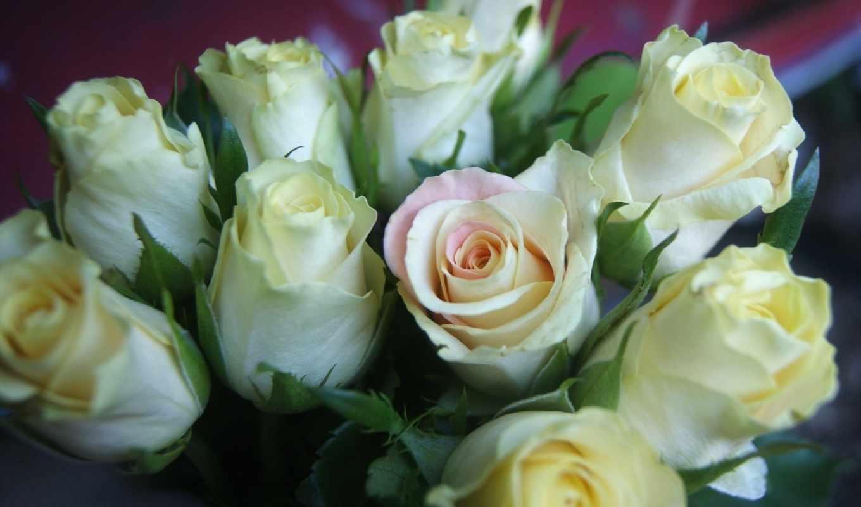 розы, белые, букет, роз, красивые, цветы,