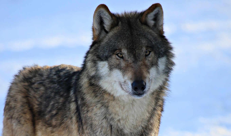 обои, волк, волки, зима, снег, обоев, животные, бе
