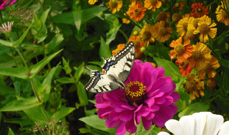 бабочка, лето, цветок, цветке,