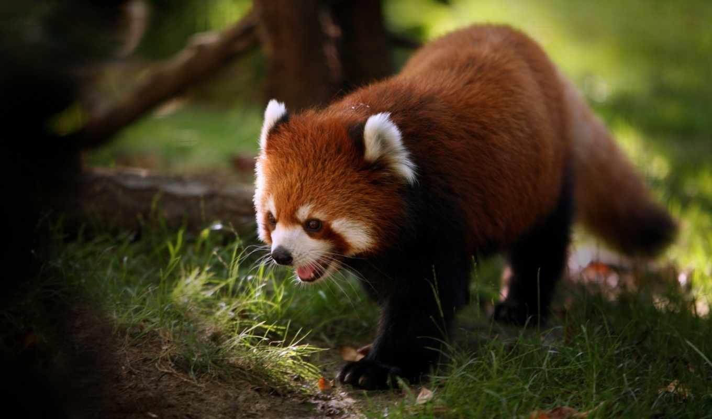 панда, красная, просмотреть, son, ветка, малая,