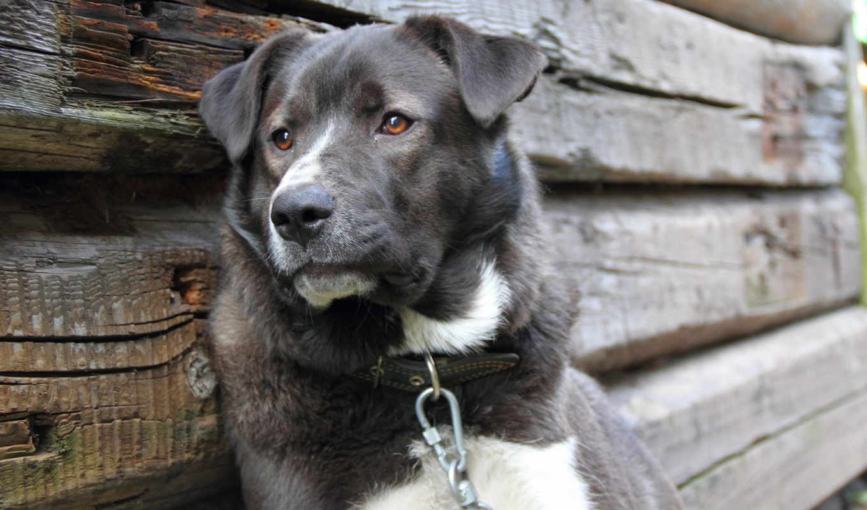 собака, серый, хозяина, цепью, звякнув, цепи, nog, again, улёгся, усмехаться,