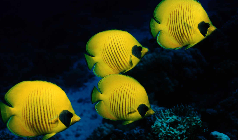 fish, бабочка, pisces, море, рыбки, маскированная, желтые, world, underwater, кораллы,