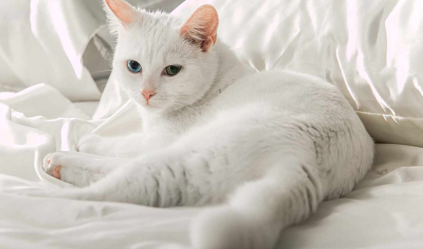 ангорский, кот, heterochromia, gato, turkish, white, ложь