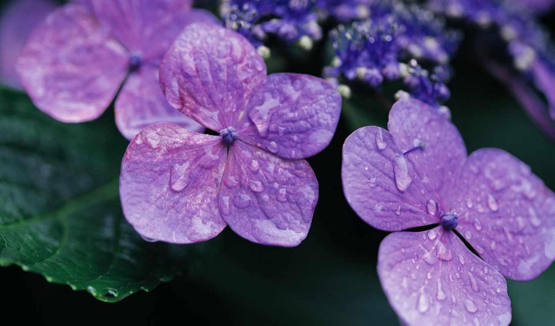 cvety, фиалки, сиреневый, фиолетовый, лепестки, просмотр, капли,
