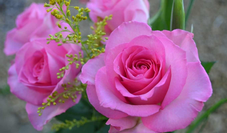 розовая, roza, капли, cvety, лепестки, розовый,