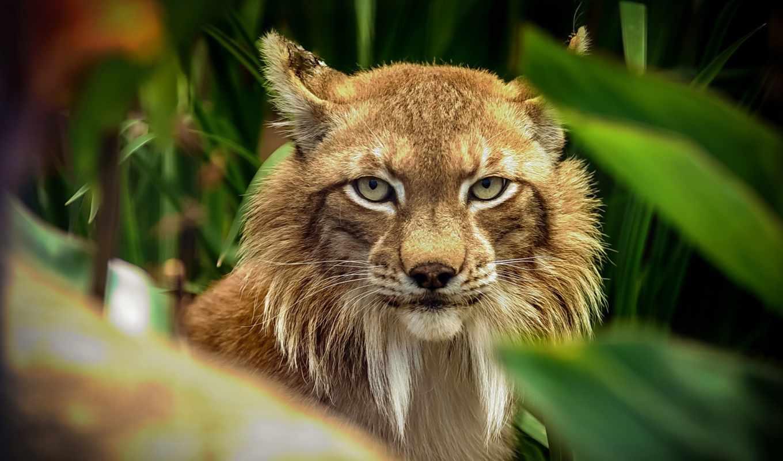 bobcat, desktop, фон, images, free,