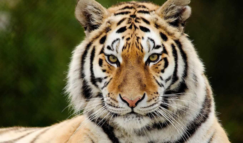 тигр, хищник, взгляд, морда, полоски, картинку, картинка,