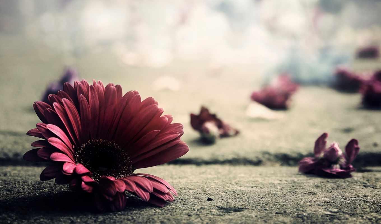 gerbera, лепестки, цветы, герберы, розовый,