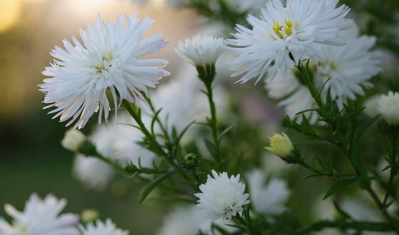 astra, white, цветы