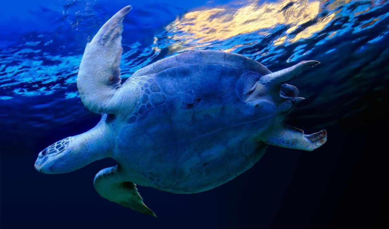 черепаха, обои, синий, вода, морская, фото, черепа