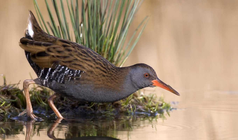 озеро, вода, отражение, пруд, трава, птица, rail, free, download,