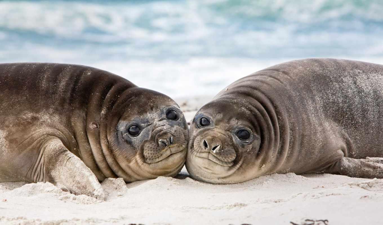тюлень, море, морские, ушастый, bunny, моя, картинка, котики, diorbi, фолклендские, lion,