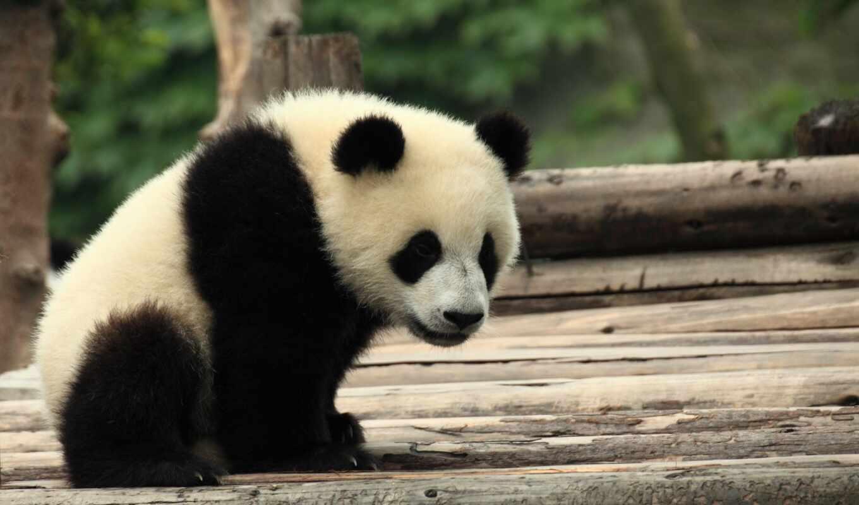 animale, animal, панда, природа, user, медведь