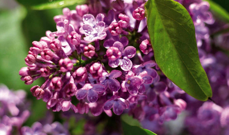 цветы, одинокая, with, flowers, зелень, ветка, роса, puzzle, topuzz, сирень, выпуски, строки, gb, сирени,