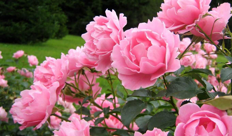 цветы, пионы, скачали, раз,