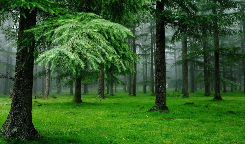лес, природа, трава, капли, елки,