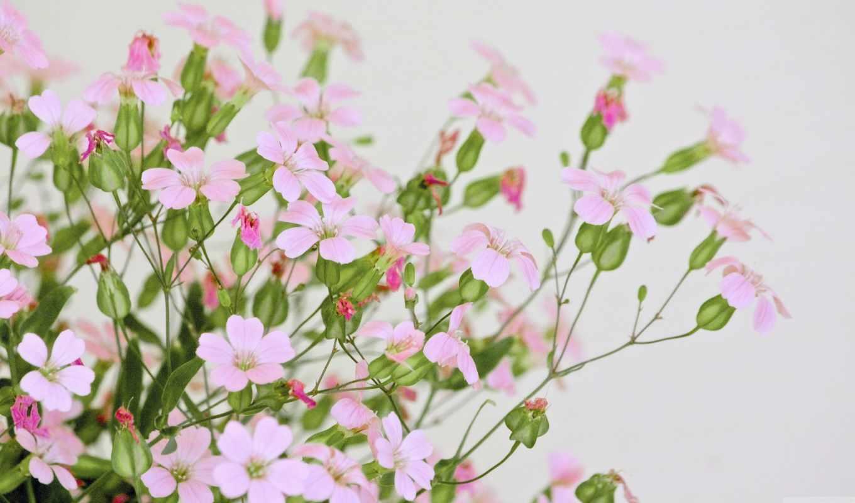 розовый, цветы, flowers,