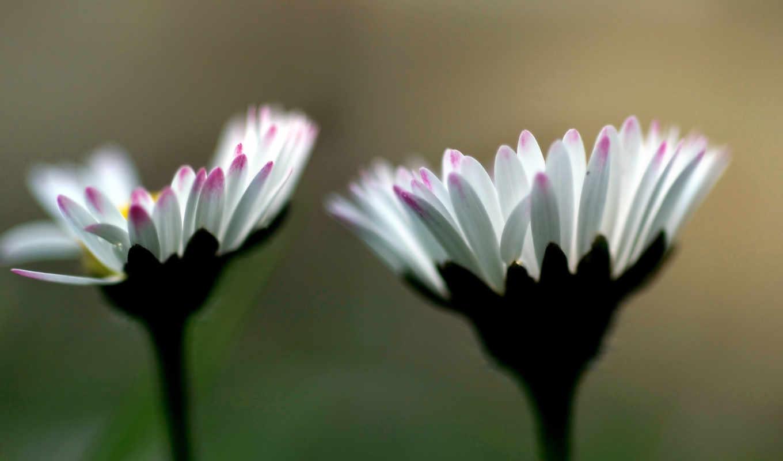 цветы, белые, розовые, макро, страница, photography, природа, красивые,