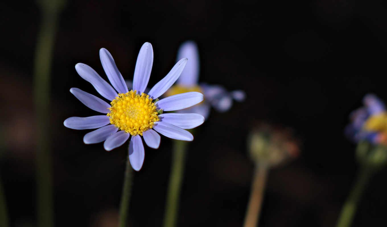 лепестки, цветок, стебель, макро, растение, hd, wallpapers, wallpaper, and, full,