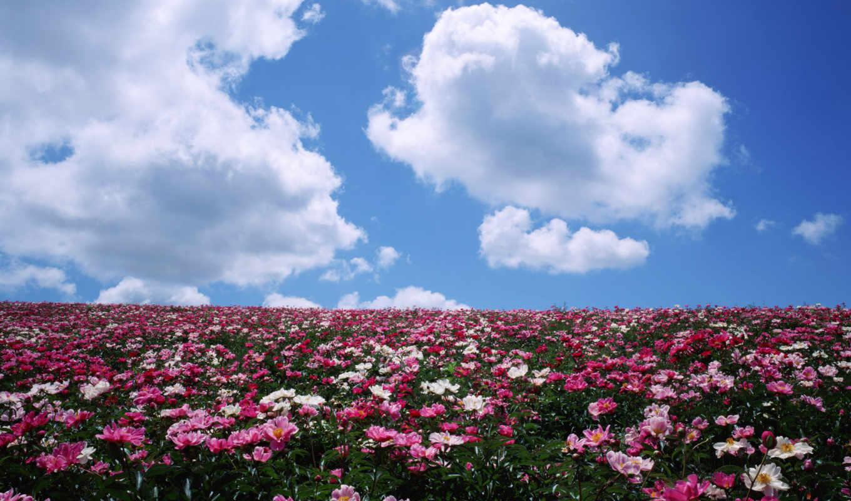 цветы, поле, облака, пионы, горизонт,