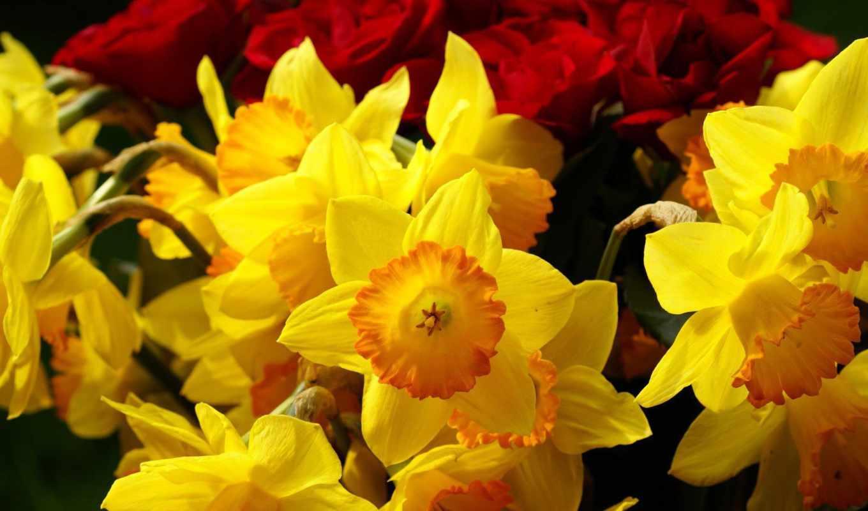 нарциссы, цветы, желтые, розы, бордовые,