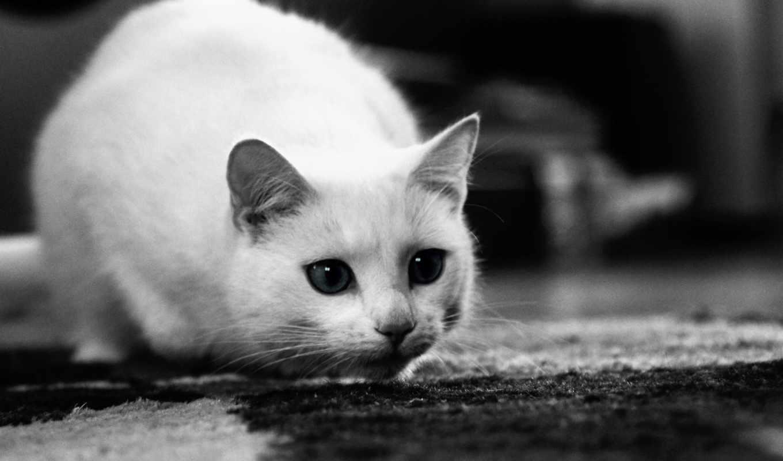 кошки, кот, белые, чёрно, красивые, white, лошади, белая, животные,