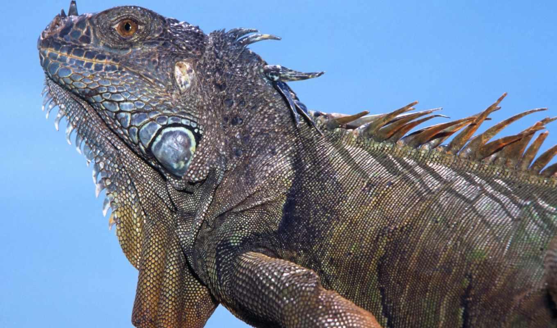 iguana, zhivotnye,
