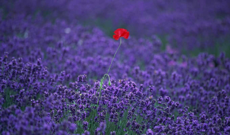 цветы, одинокий, that, где, растет, poppy, поле, liveinternet, увидит, пчелка,