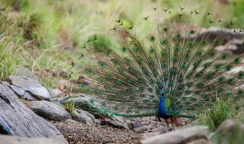 павлина, tail, птица, перо