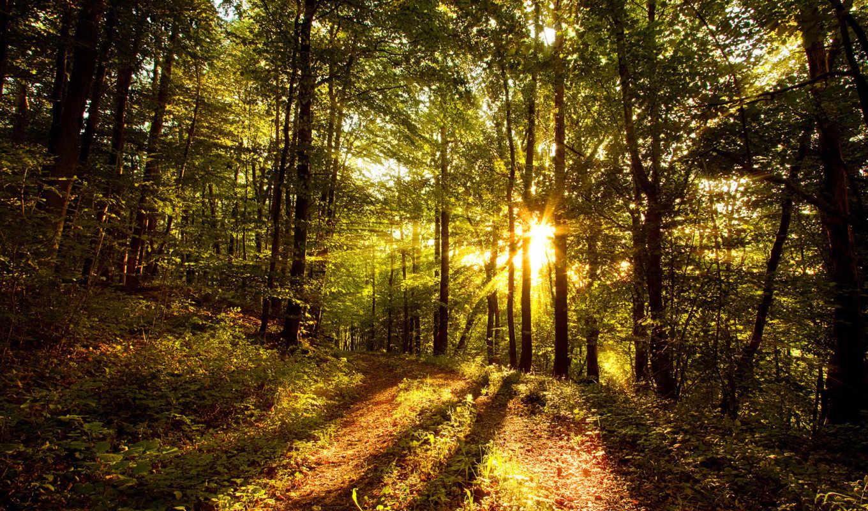 солнце, лесу, forest, свет, деревья,