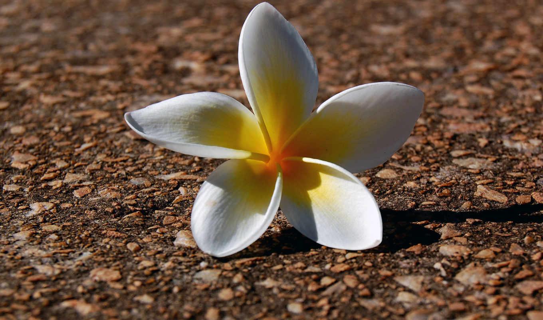 flowers, flower, nature, white, звезда, цветами, белые,