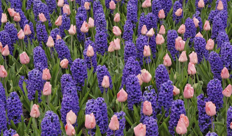 кровать, тюльпаны, тюльпанов, розовых, гиацинтов, цветы, взгляд, гиацинт,