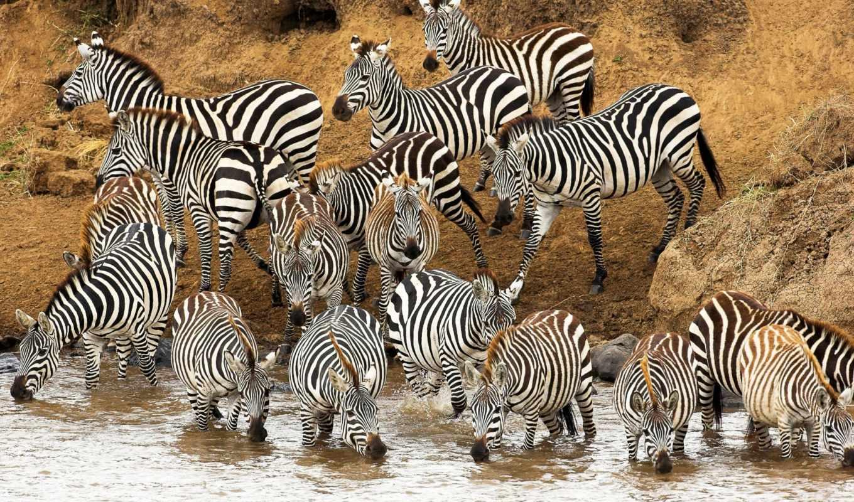 стадо, waters, зебры, зебр, watering, zebra, рейтинг, банка, огромное, zhivotnye,