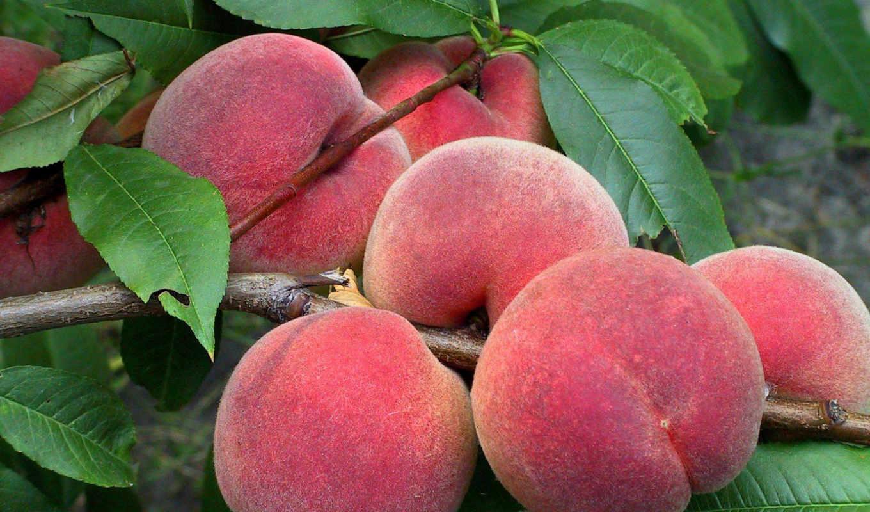 персика, veteran, саженцы, персик, красный, плоды,