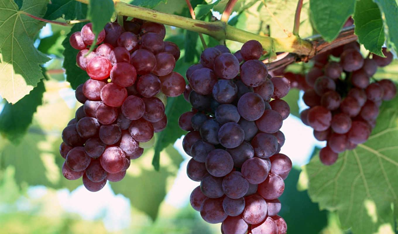 виноград, struguri, лоза, молдова, нов,
