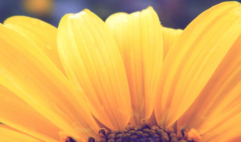месси, full, new, admin, yellow, цветы, подсолнух,